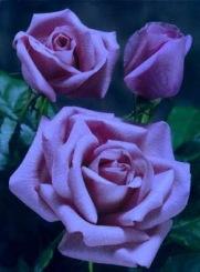 rosa-azul-jpg
