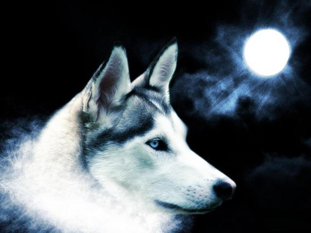 Un lobo aullando a la luna - Imagui